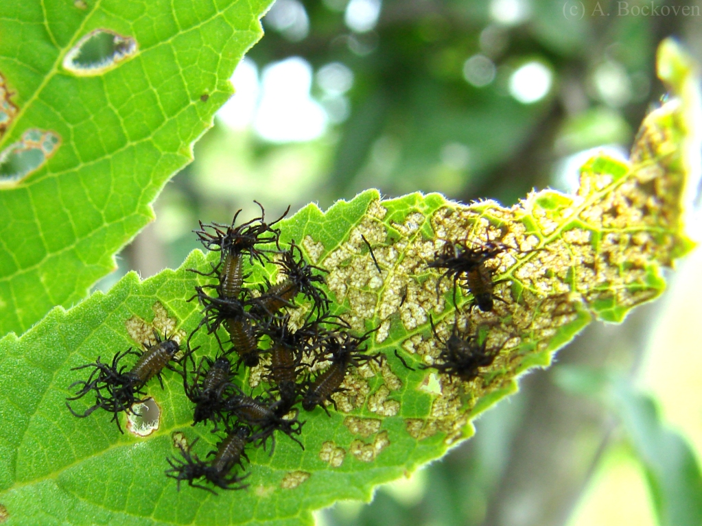 Larvae on leaf.