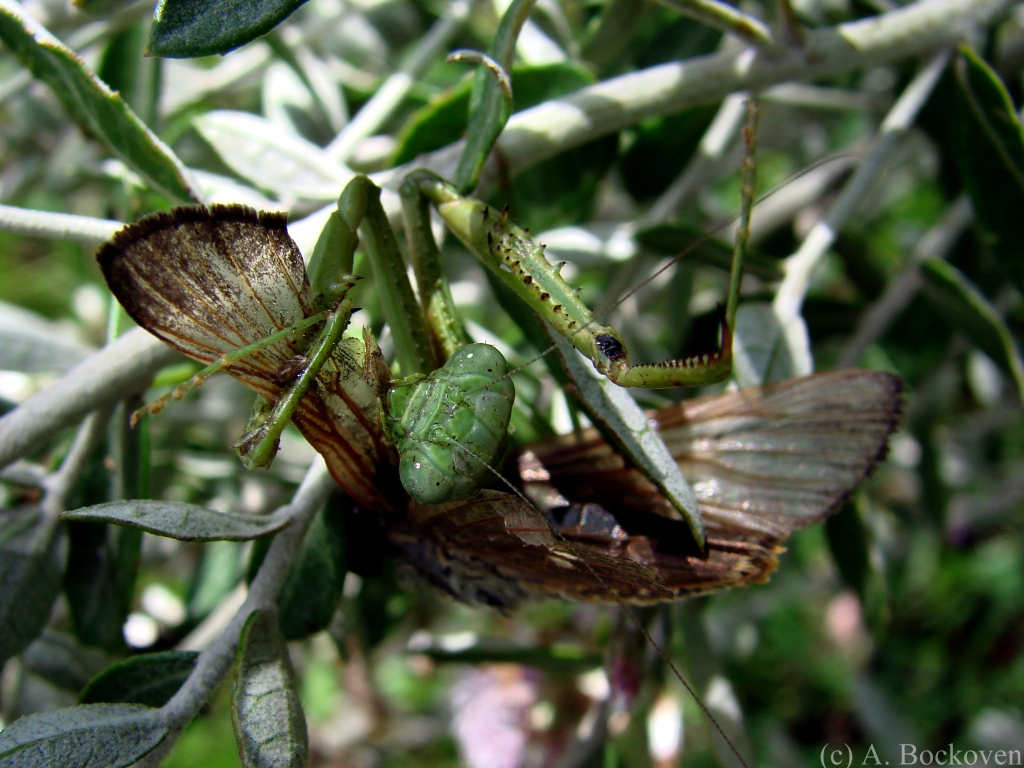 A mantis with prey