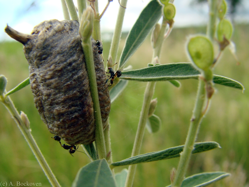 Parasitoid wasps at an eggcase.