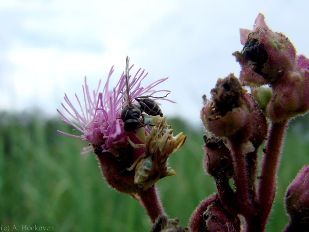 Wasp and ambush bug on flower.