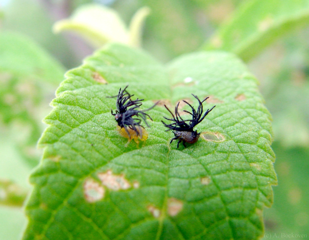 Two tortoise beetle larvae (Cassidinae) with dimorphic coloration.