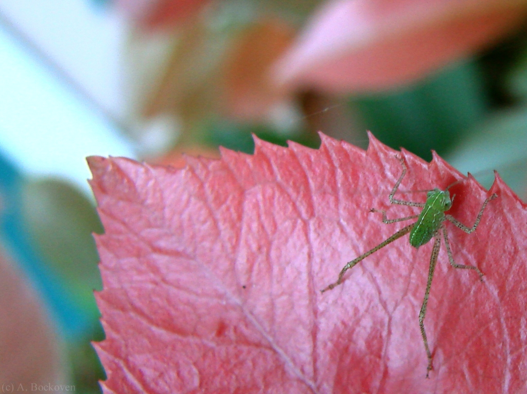A katydid nymph on a leaf.