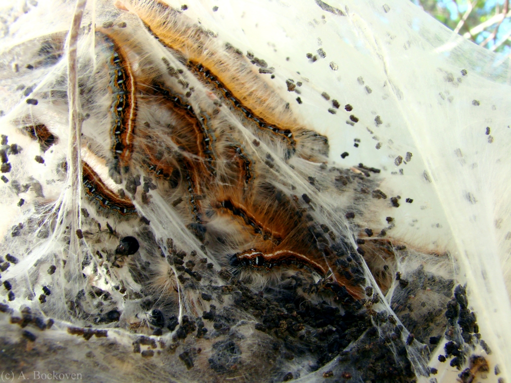 Tent caterpillars in webbing.