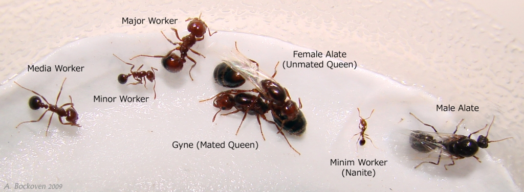 Fire ant sexuals and polymorphic workers (Solenopsis invicta).