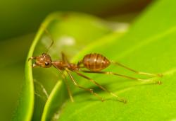 Arista Pest Solution's Not-a-fire-ant