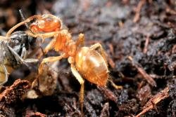 Barrier Termite & Pest Technologies Not-a-fire-ant