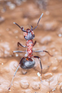 Envirocon Termite & Pest's Not-a-fire-ant