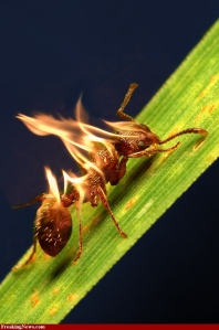 This is a fire fire ant.