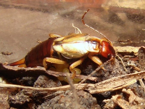 An earwig mother guards her clutch of eggs (Forficulidae).