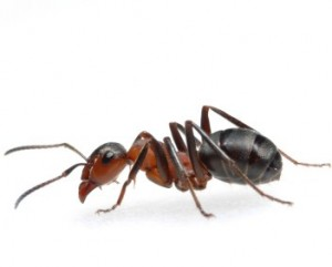 Raleigh Pest Control's Not-a-Fire Ant
