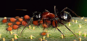 Sterling Pest Control's Not A Fire Ant
