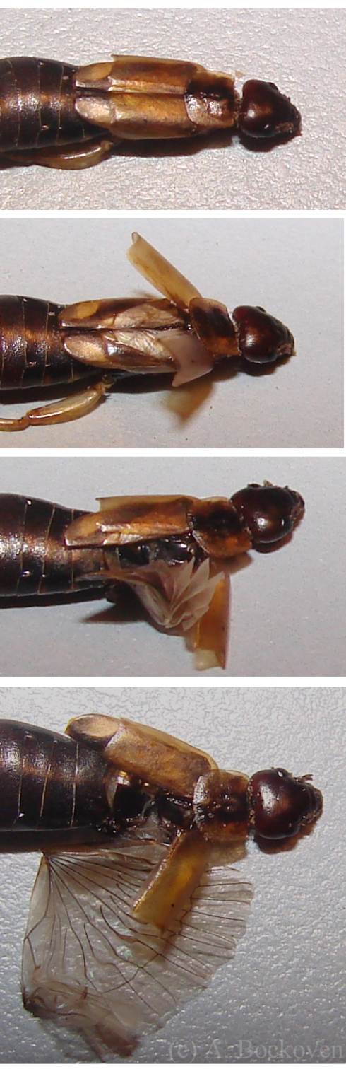 The wing folding of the common earwig (Forficulidae).