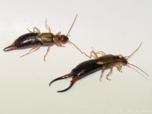 The cerci of male and female common earwigs (Forficulidae).