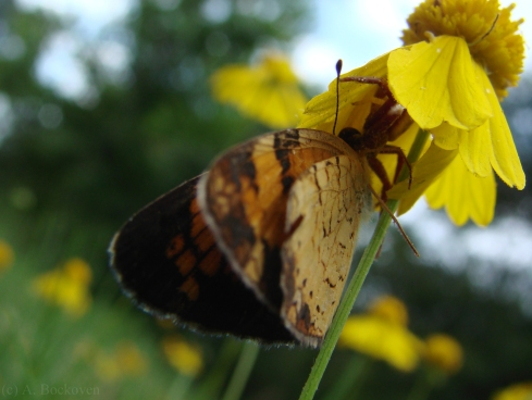 A skipper ambushed by a spider under a yellow flower.