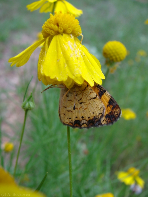 A skipper mysteriously under a yellow flower.