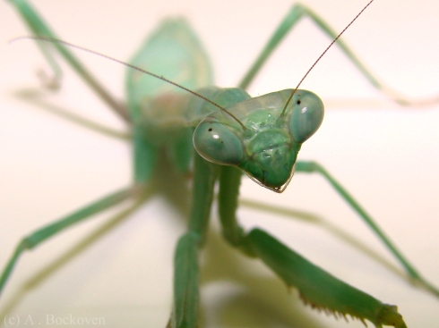 Close up on the head, eyes, and mandibles of a Carolina mantis.