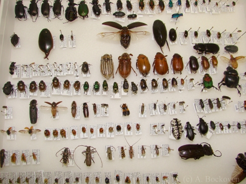 Pinned beetles in a collection box (Coleoptera).