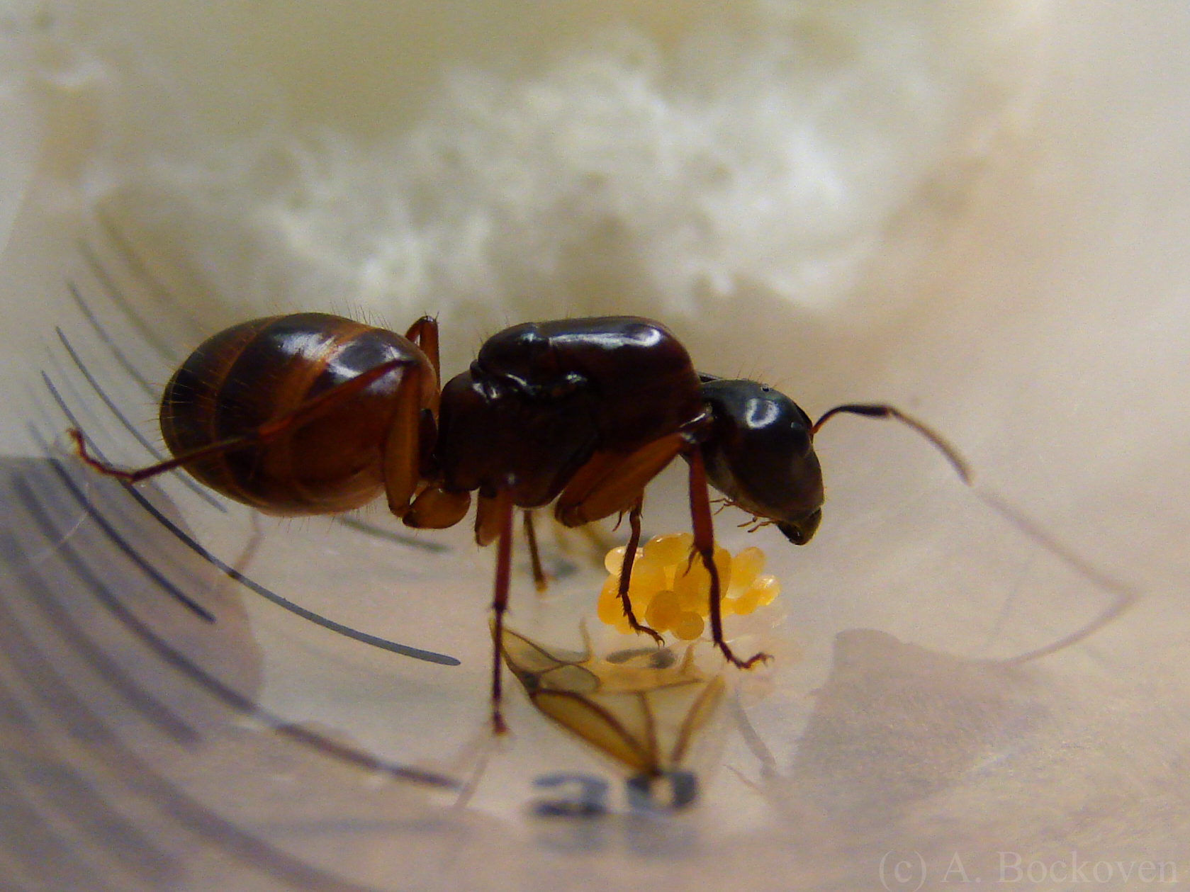 What do sugar ants look like
