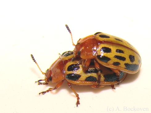 A mating pair of red-headed Chrysomela leaf beetles (Chrysomelidae: Chrysomela texana).