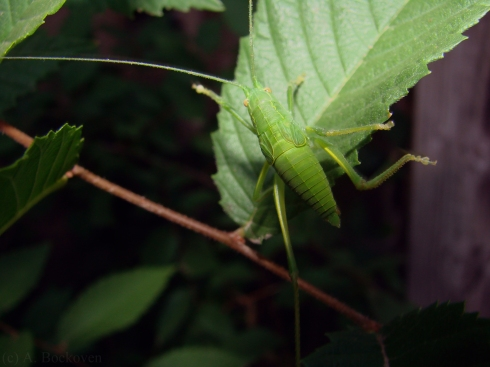 Katydid nymph on a leaf (Tettigoniidae).