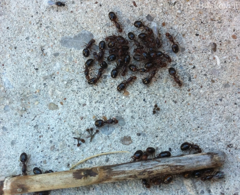 Winged sexual fire ants cluster together