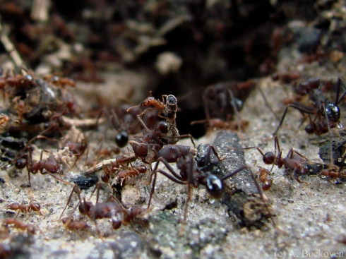 Colony of leaf cutter ants