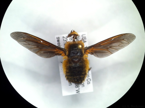 Bee fly in insect collection with missing eyes due to carpet beetle damage.