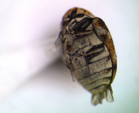 The legs of the dermestid beetle can tuck back into grooves.