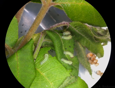 Luna moth caterpillars on walnut leaves