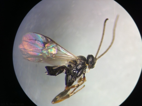 Close up of a female parasitoid wasp.