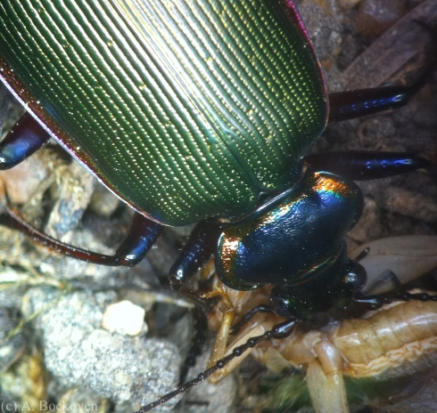 Close up of green carabid beetle chewing on Cricket Prey