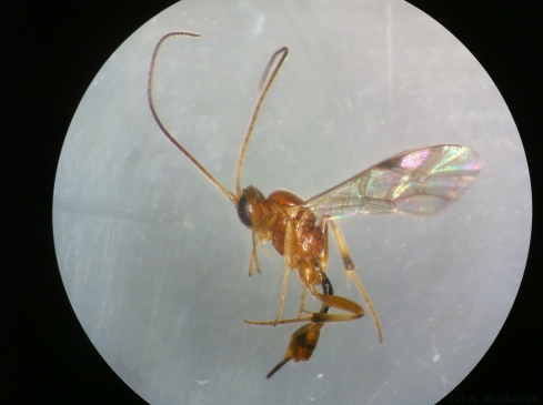 A female hyperparasitoid ichneumonid wasp.