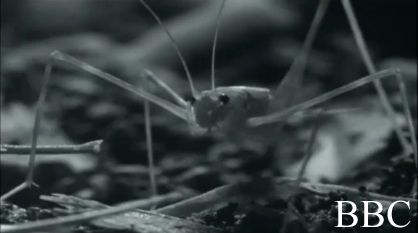 a screen cap of the cricket in BBC's life in the undergrowth