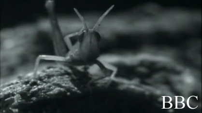 "A screen cap of BBC's misidentified grasshopper ""cricket"""