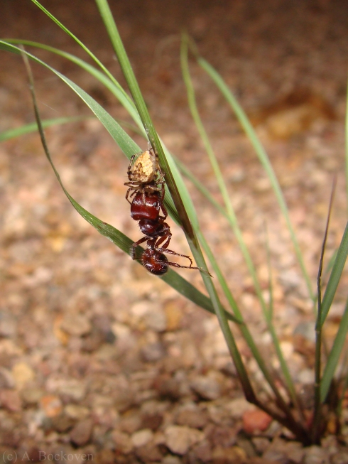 Spider feeding on its harvester ant prey.