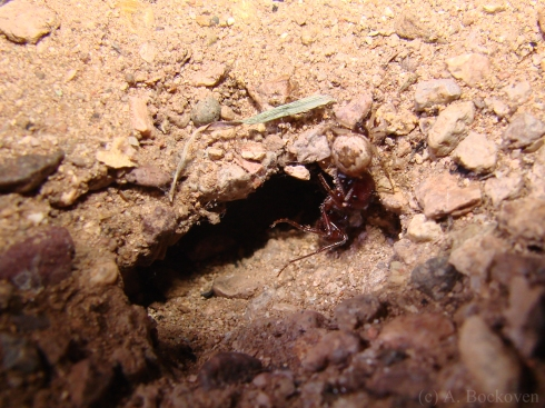 Spider entering Pogonomymex nest and killing workers.