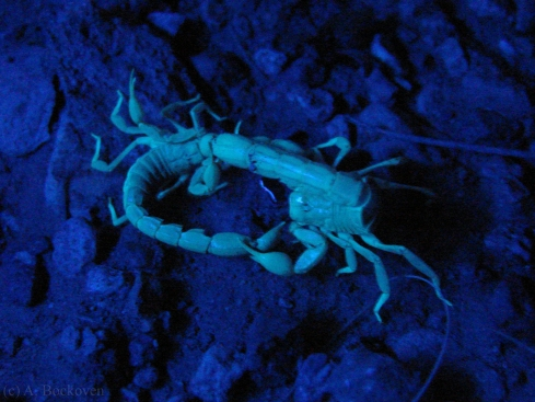 Scorpions fighting at night in the desert, viewed with a blacklight.