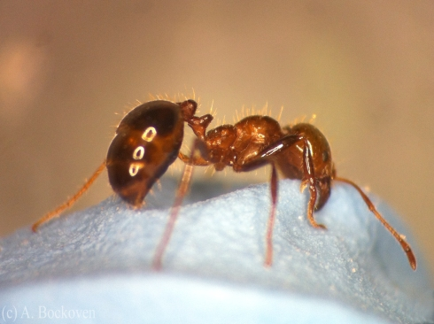 Red imported fire ant (Solenopsis invicta) close up.