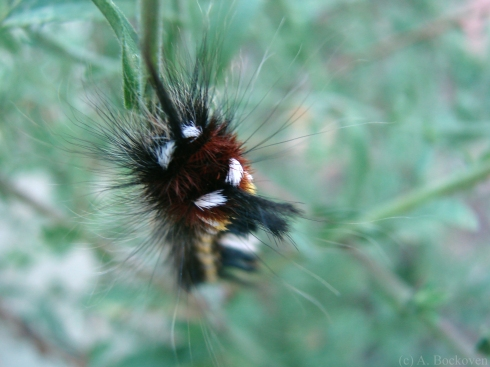 Fuzzy black yellow red white caterpillar with tussocks