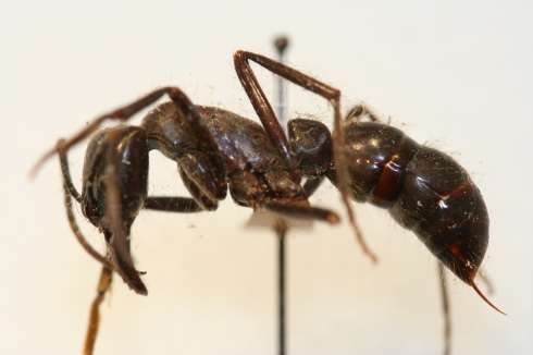 Giant dinoponerine ant with stinger.
