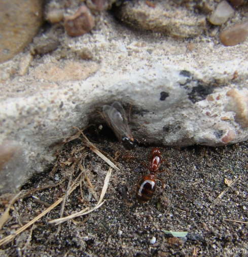 Female alate fire ant explores nest hole.
