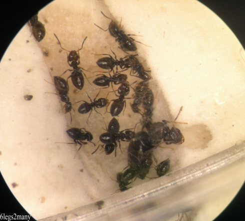 Rover ants and queen with brood in plaster nest.