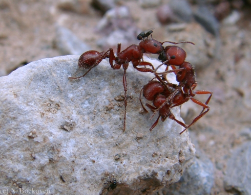 Harvester ants fighting chopped in half on a rock